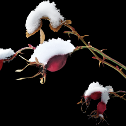 ldavi-feathersandmittens-snowyrosehipcluster.th.png