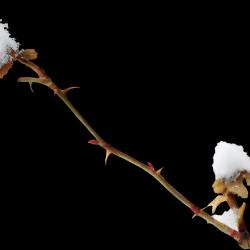 ldavi-feathersandmittens-snowyrosehipleaves.th.png